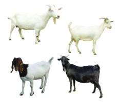 羊 素材图片