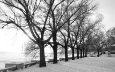 松花江畔杨树图片