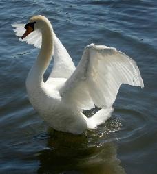 唯美优雅白天鹅展翅图图片