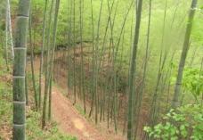 春雨过后的竹海图片