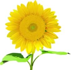 太阳花 向日葵图片