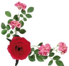 玫瑰边框图片