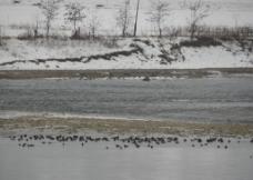 鸭绿江野鸭图片
