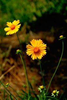 波斯菊的花与蕾图片