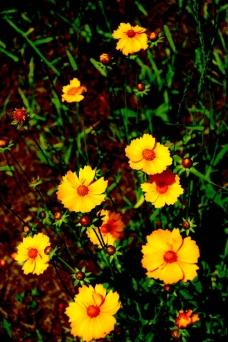春光中的波斯菊图片