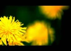 菊花视频素材图片