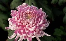 粉色龙爪菊图片