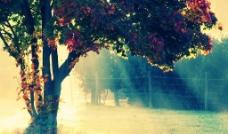 高清枫树图片