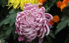 菊花摄影图片