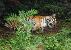 睡梦中的老虎图片