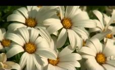 植物花朵背景视频素材