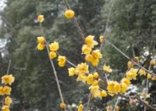 黄腊梅 黄梅花图片