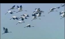 鸟类仙鹤飞翔视频素材