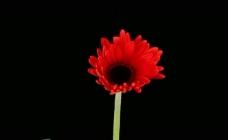 红花植物花朵生长视频