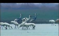 仙鹤栖息活动视频素材