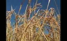 水稻稻穗成熟视频素材