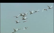 天鹅飞翔视频素材