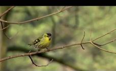 树枝小鸟视频素材