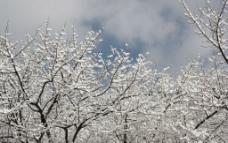 雪景树图片