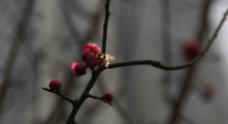 蜜蜂红梅花图片