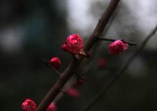 蜜蜂 红梅花图片