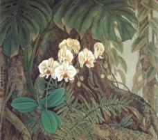 白蝴蝶蘭圖片