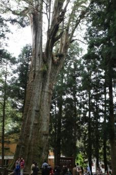 阿里山神木图片