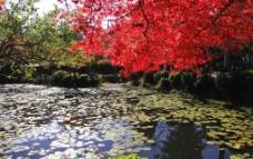 枫叶湖水图片