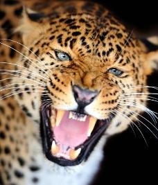 非洲豹图片