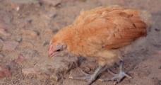 怎样选可以日的小母鸡?