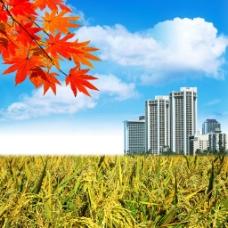 枫叶自然风景图片