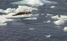 海豹视频素材