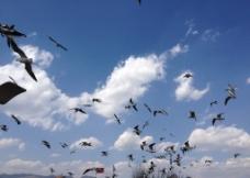 昆明滇池海鸥图片