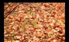 落叶红果实视频