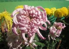 东湖菊花展粉色图片