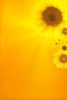 向日葵背景图片素材-1