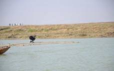 鄱阳湖鸬鹚图片