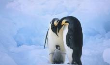 企鹅一家图片