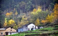 秋 银杏图片