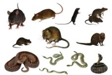 老鼠 蛇分层素材图片